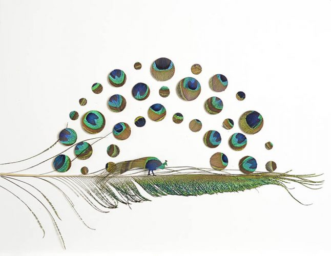 Peacock Attraction